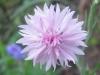 07-juillet-fleurs-2012-7-jpg
