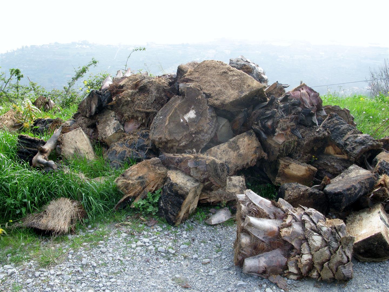 cian-dinnamurai-discarica-palme-infestate-2-jpg