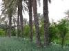 3culture-07-semence-oignon-gabes-chenini
