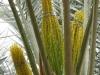 3culture-11-palmier-pollinisation-gabes