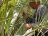 3culture-13-palmier-pollinisation-gabes-2