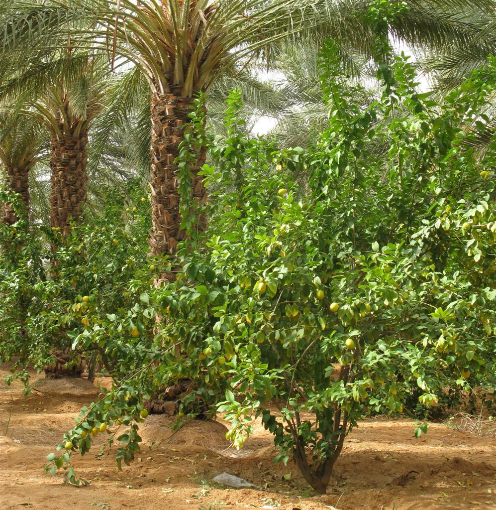 ghardaia-agriculture-2