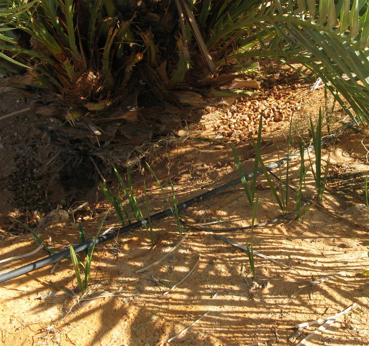 ghardaia-irrigation-17