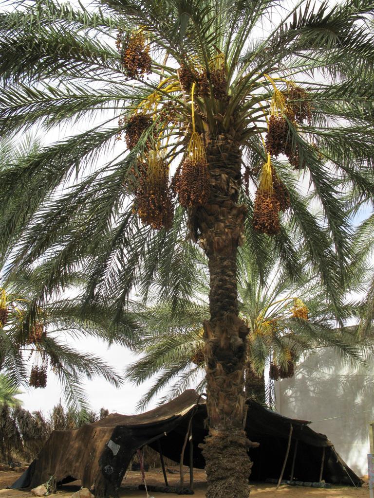 ghardaia-palmeraie-11