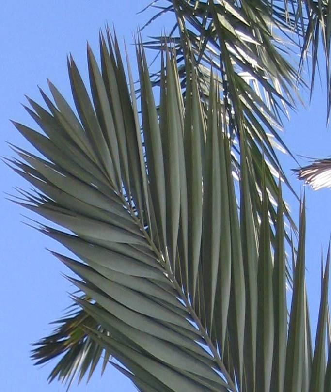 leaf-ebrea