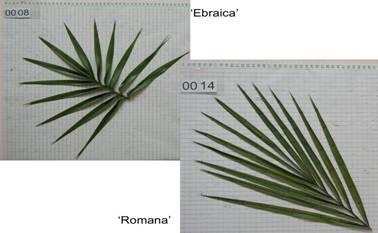 leaves-ebrea-romana