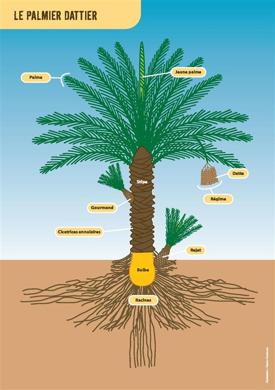 morphometry-date-palm