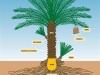 morphometry-date-palm