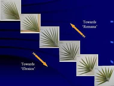 cultures-rituelles-palme-ebrea-versus-romana