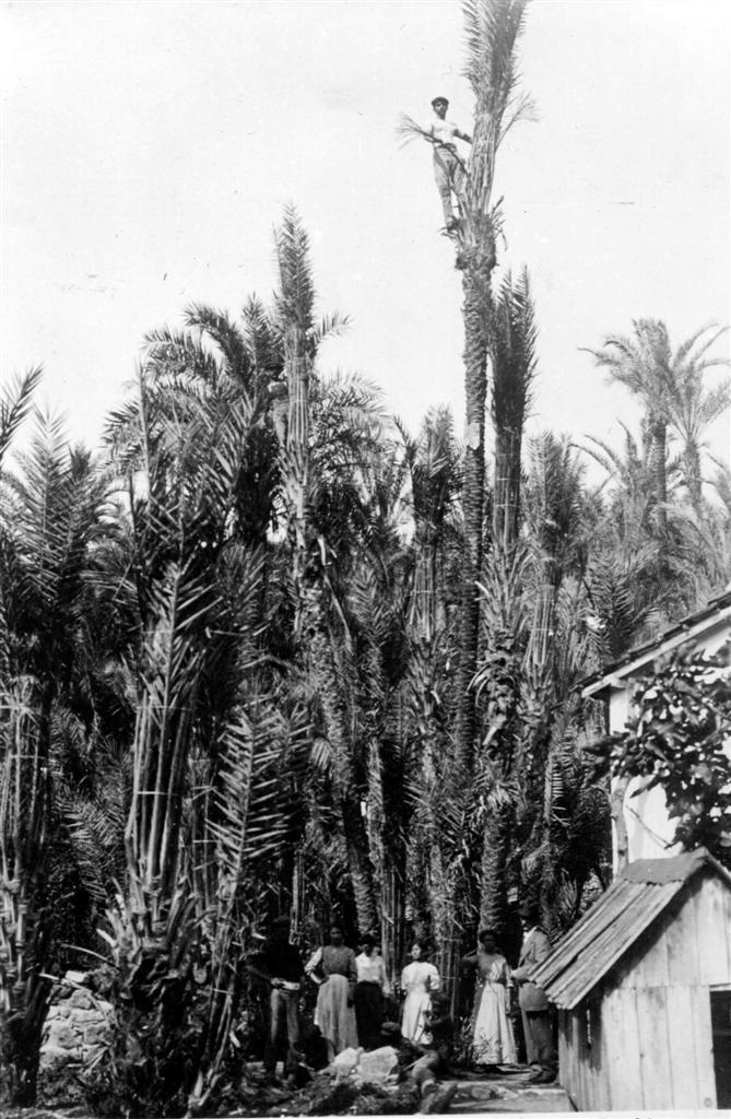 cultures-rituelles-palme-ebrea