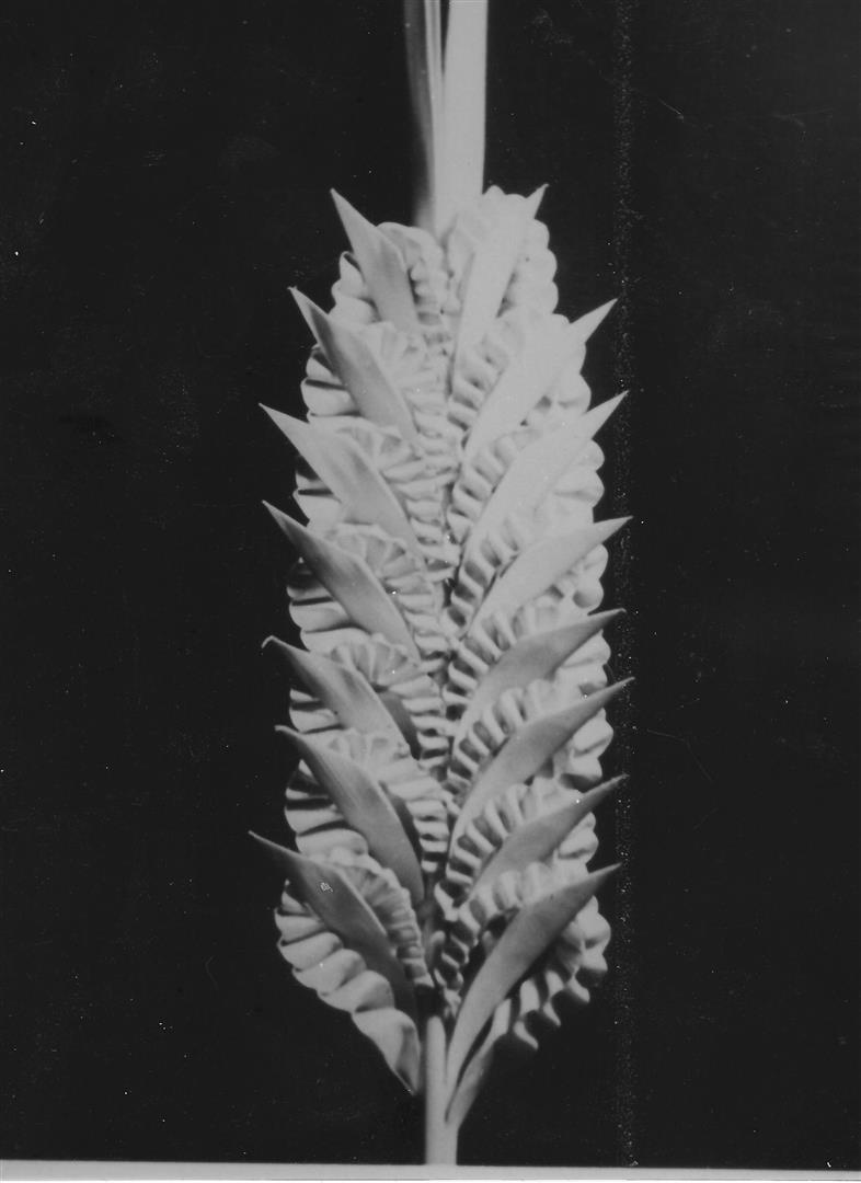 rameaux-provence-nice-1943-malavielle-16
