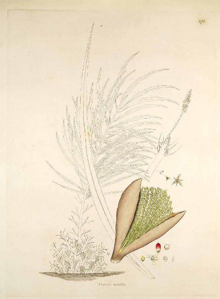 phoenix-acaulis-1819-roxb
