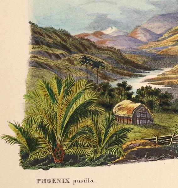 phoenix-pusilla-martius-1850