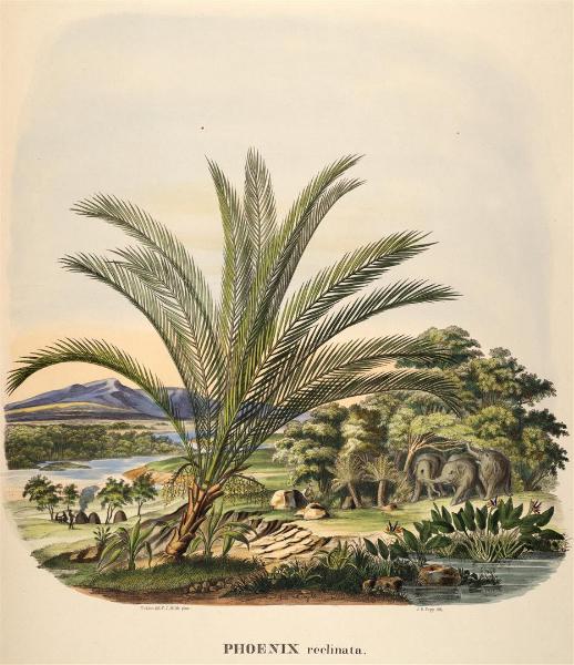 phoenix-reclinata-martius-1850