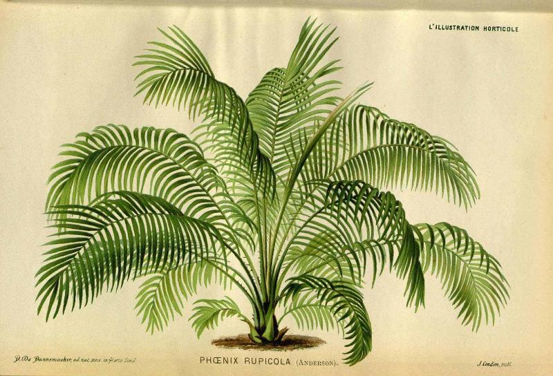 phoenix-rupicola-anderson-1871