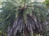 phoenix-loureiroi-var-pedunculata-cachemire-ph-abbas