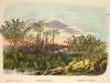 phoenix-paludosa-martius-1850